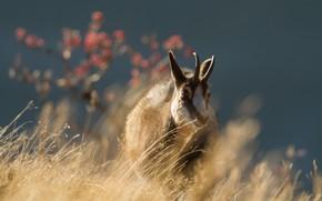 Picture field, grass, light, nature, background, tree, walk, goat, wild, horns, bokeh, goat, goat