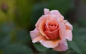 Picture flower, background, pink, rose, orange, Bud, blurred, salmon