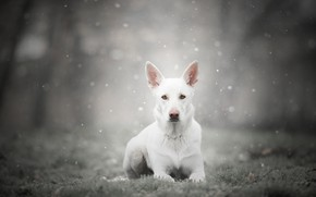 Picture winter, frost, forest, grass, look, face, snow, nature, pose, fog, Park, grey, background, dog, lies, …