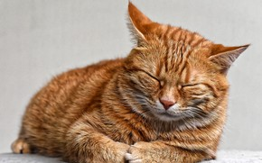 Picture cat, sleeping, red