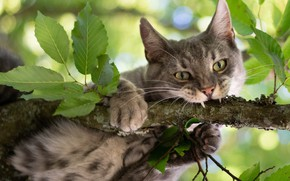 Picture cat, cat, look, leaves, branch, on the tree, Kote