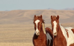 Picture horses, horse, a couple, wild horses