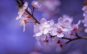 Picture macro, cherry, branch, spring, flowering, flowers, bokeh