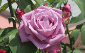 Picture nature, background, rose, buds, purple rose, Meduzanol ©