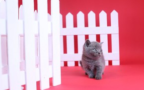 Picture the fence, kitty, red background, British