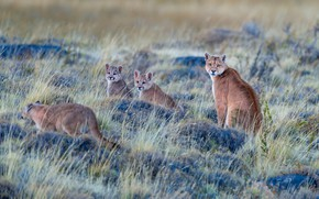 Picture grass, pose, glade, vegetation, kittens, Puma, family, cubs, mother, Cougar, look, bumps, Cougars