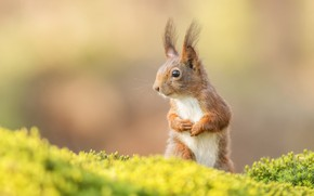 Picture background, moss, protein, squirrel