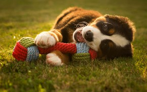 Picture summer, grass, look, light, mood, glade, toy, the game, dog, positive, rope, baby, mouth, puppy, …