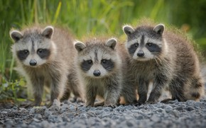 Picture trio, raccoons, cubs, Trinity