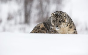 Picture winter, look, face, snow, nature, pose, portrait, the snow, lies, IRBIS, snow leopard, snowfall, bokeh