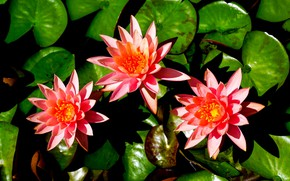 Picture leaves, trio, Water Lily, Nymphaeum