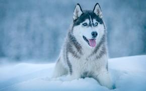 Picture winter, language, snow, dog, Husky