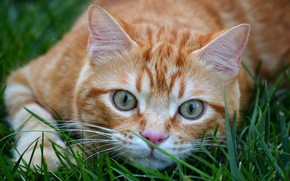 Picture cat, grass, cat, look, face, close-up, nature, pose, background, paw, portrait, red, though