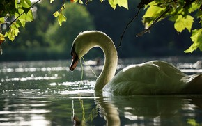 Picture leaves, water, branches, bird, Swan
