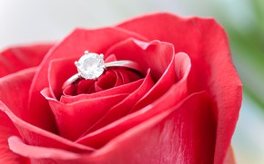 Picture flower, rose, Bud, ring, red