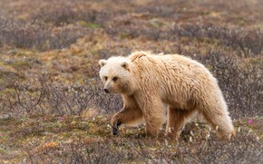 Picture field, grass, look, pose, glade, bear, bear, the Kermode, rogulka