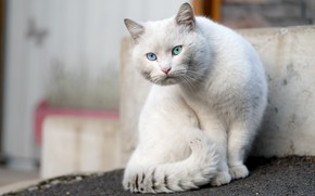 Picture cat, cat, look, pose, background, white, sitting, different eyes