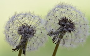 Picture summer, nature, dandelions