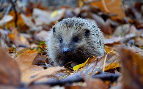 Picture autumn, hedgehog, autumn leaves