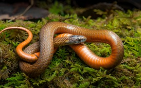Picture greens, look, pose, moss, snake, orange, red, reptile, curled