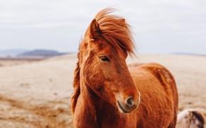 Picture look, nature, horse, hills, horse, portrait, chestnut, bangs