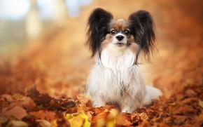 Picture autumn, look, leaves, pose, background, foliage, dog, puppy, face, sitting, dog, cutie, baby, blurred, decorative, ...