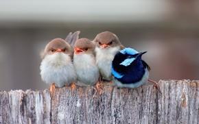 Wallpaper birds, Robin, kanesaka, blue bird, birds, Chicks