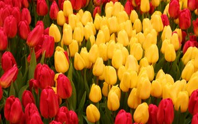 Picture yellow, tulips, red, a lot