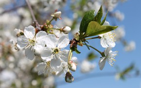Picture flowers, spring, may, flowering, white flowers