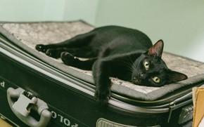 Picture cat, cat, look, pose, background, black, lies, suitcase