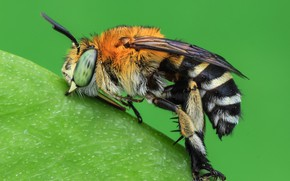 Picture macro, bee, background, insect