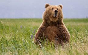 Picture field, chest, grass, look, face, nature, pose, bear, bear, sitting, brown, bear