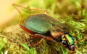 Picture look, macro, green, background, moss, beetle, hairy, insect, brilliant, face