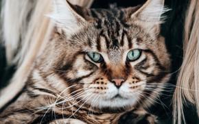 Picture cat, look, portrait, muzzle, Kote