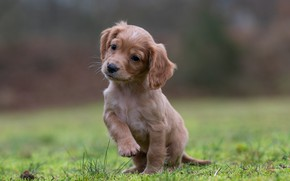 Picture puppy, ears, Spaniel, foot