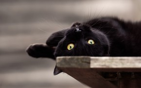 Picture cat, look, black, lies