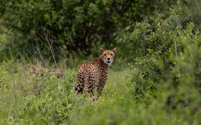 Picture look, face, branches, nature, thickets, foliage, Cheetah, the bushes