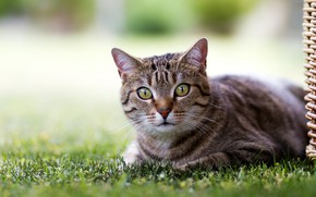 Picture cat, eyes, lawn