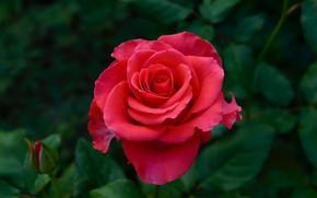 Picture macro, close-up, nature, rose, Bush