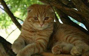 Picture animals, cat, fold, Scottish fold