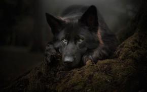 Picture look, face, moss, portrait, dog, German shepherd
