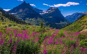 Picture flowers, mountains, blue, Ivan-tea