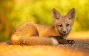 Picture look, Fox, lies, Fox