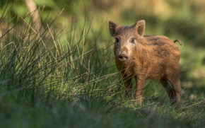 Picture greens, summer, grass, look, light, nature, background, baby, walk, boar, cub, hog, pig, pig, piggy