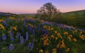 Picture landscape, flowers, nature, tree, hills, morning, slope, Washington, USA, grass, meadows, lupins, Washington State, balsamorhiza, …