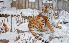 Picture winter, look, face, snow, branches, tiger, pose, stones, posts, paws, tail, lies, zoo, logs