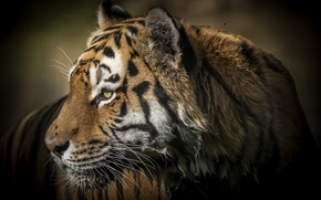 Wallpaper tiger, wet, predator, profile