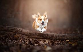 Picture autumn, jump, dog, running, walk, log, bokeh, Welsh Corgi