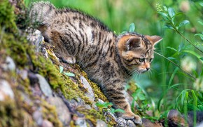 Picture greens, cat, summer, cat, nature, pose, stones, kitty, baby, kitty, wild, forest, European