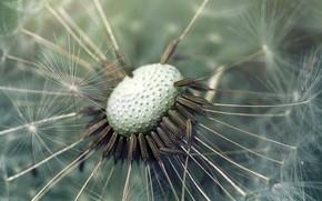 Wallpaper flower, macro, dandelion
